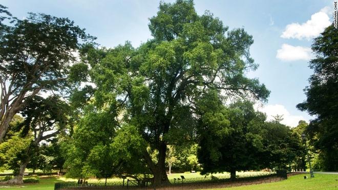 Rung mua nguyen sinh giua long Singapore hinh anh 12 Vườn có 47 cây di sản, trong đó có cây Tembusu đã hơn 200 năm tuổi. Bạn có thể thấy hình ảnh của cây này trên đồng 5 đôla của Singapore.