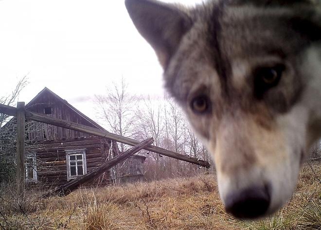 Vuong quoc dong vat hoang da o vung phong xa Chernobyl hinh anh