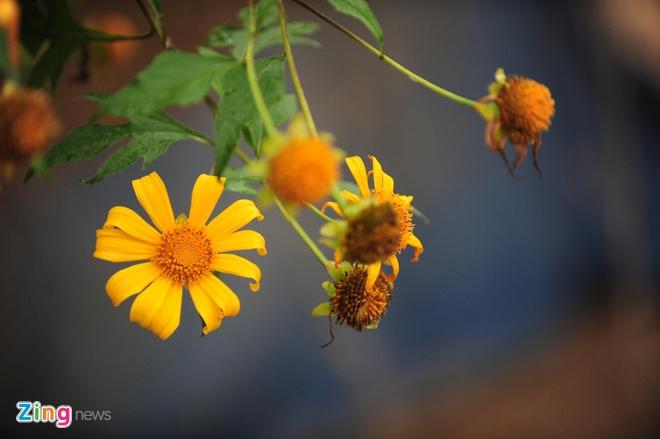 Dã quỳ có tên khoa học là Tithonia diversifolia,  hương dã quỳ không nồng nàn như hoa sữa mà dịu mát, thoảng qua.