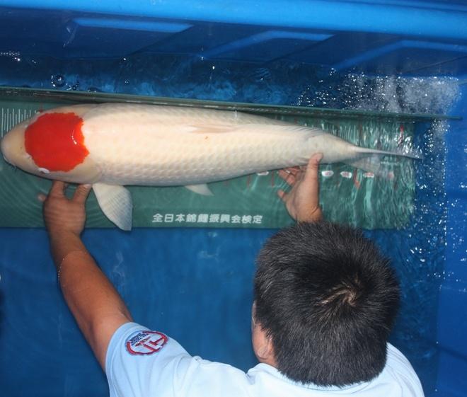 Ngoài ra còn nhiều cá khác được định giá từ 2.000 cho đến hơn 10.000 đô la Mỹ. Trong ảnh là cá Koi dòng
