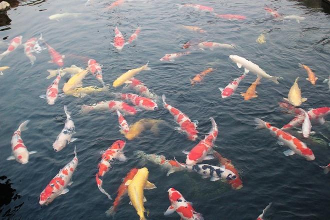 """Tại Nhật Bản, các Koi được xem như là """"quốc ngư"""", có màu sắc đẹp và biểu hiện cho đức tính kiên nhẫn, có tính tình thân thiện của người Nhật Bản. Theo quan niệm của nhiều người, nhà nào nuôi được cá Koi khỏe mạnh, to đẹp và sống lâu thì được xem là ngôi nhà có phong thủy tốt, công việc làm ăn hứa hẹn gặp nhiều thuận lợi. Trong ảnh: Hồ cá Koi tại công viên Nhật Bản tại TP.HCM."""