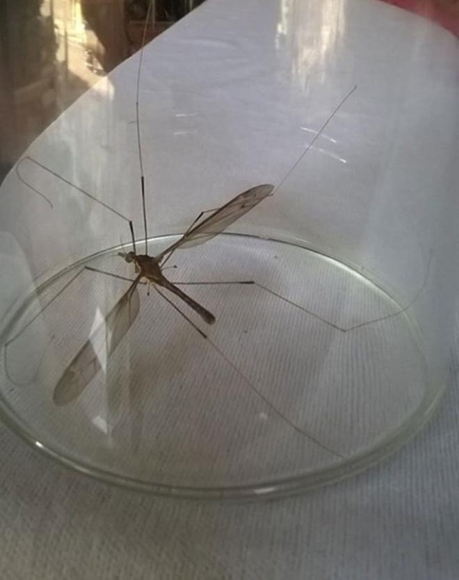 Sinh Vật Lạ Ở Quảng Bình Được Tin Là Muỗi To Như Chuồn Chuồn.