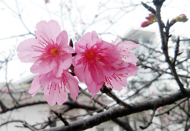 Ngam hoa anh dao Nhat Ban 'xin' giua Ha Noi hinh anh