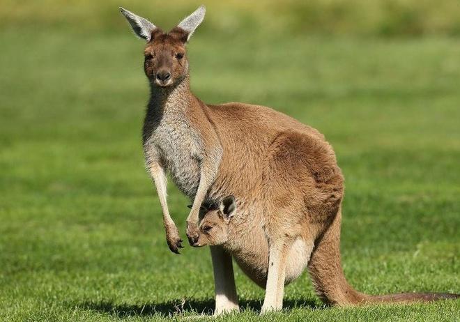 Ben trong chiec tui cua kangaroo hinh anh