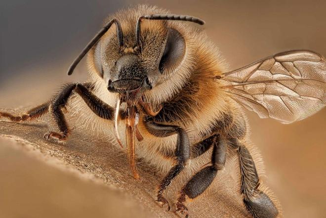 Vi sao ong chet sau khi dot nguoi? hinh anh