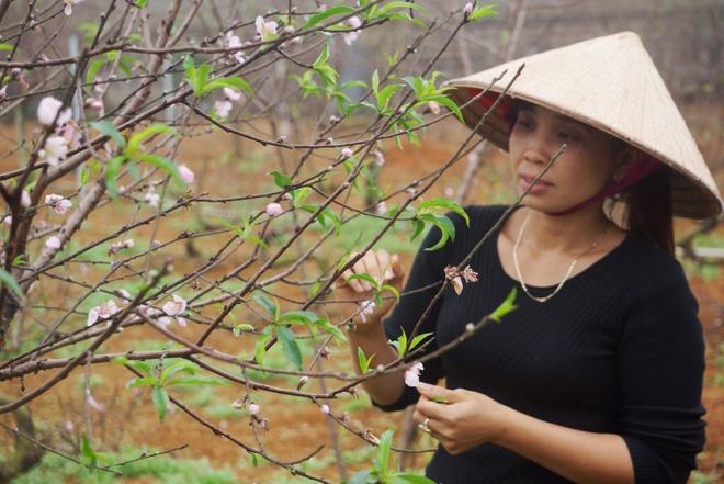 'Thu phu' dao phai lo lang vi hoa no som hinh anh
