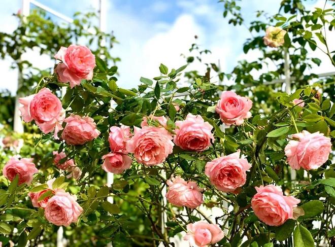 Vuon ngap tran hoa, trai cay cua gia dinh Quyen Linh hinh anh 8 90595348_2685441904886988_7774800544257802240_o.jpg