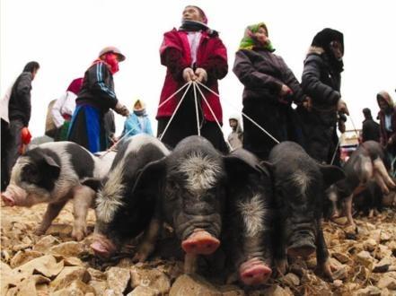 Tuong lai chan nuoi Viet Nam se dua vao vit, lon cap nach? hinh anh 1 Lợn cắp nách ở chợ phiên Lào Cai. Ảnh: Baogiaothong.