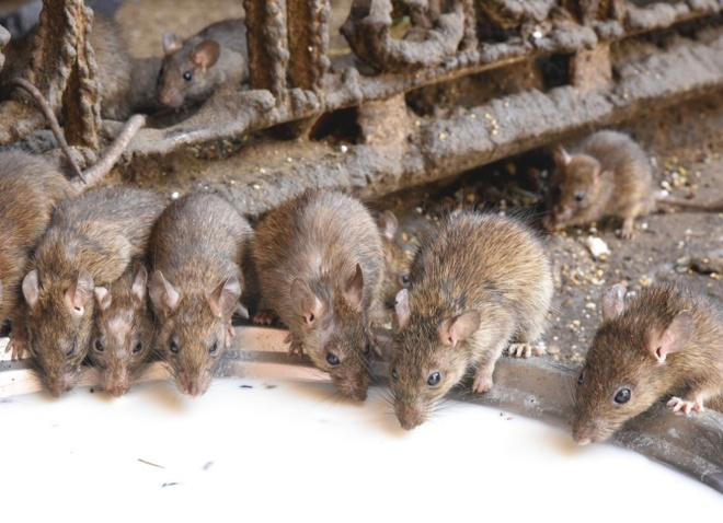 Den An Do cho hon 20.000 con chuot song tu do hinh anh 2
