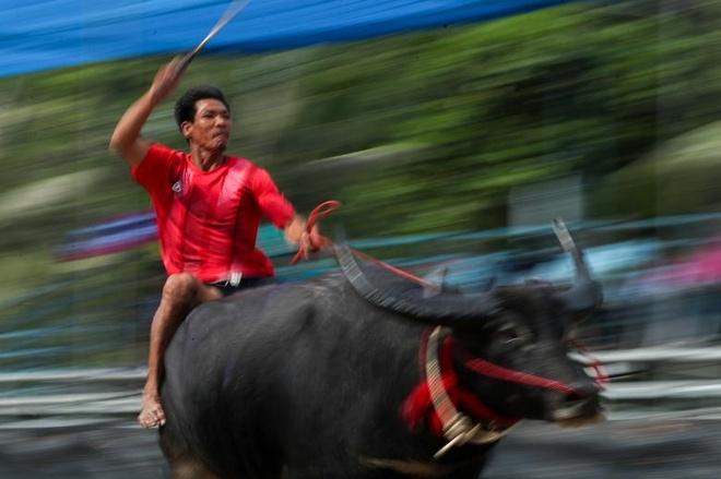 Dua trau o tinh Chonburi: 'Qua nhanh, qua nguy hiem' kieu Thai hinh anh