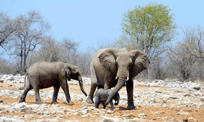 Namibia dau gia 1.000 dong vat hoang da vi han han nghiem trong hinh anh 1