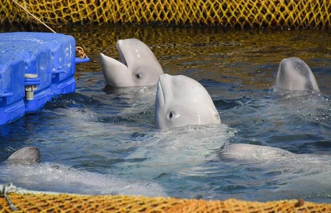 Nga phong thich dan ca voi beluga suyt bi ban cho Trung Quoc hinh anh 1