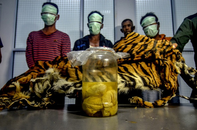 Nam nguoi Indonesia bi bat vi so huu bao thai ho Sumatra quy hiem hinh anh 1