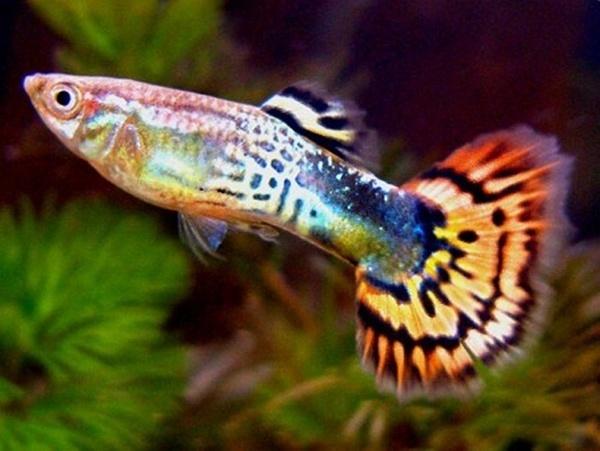Image result for . Cá bảy màu