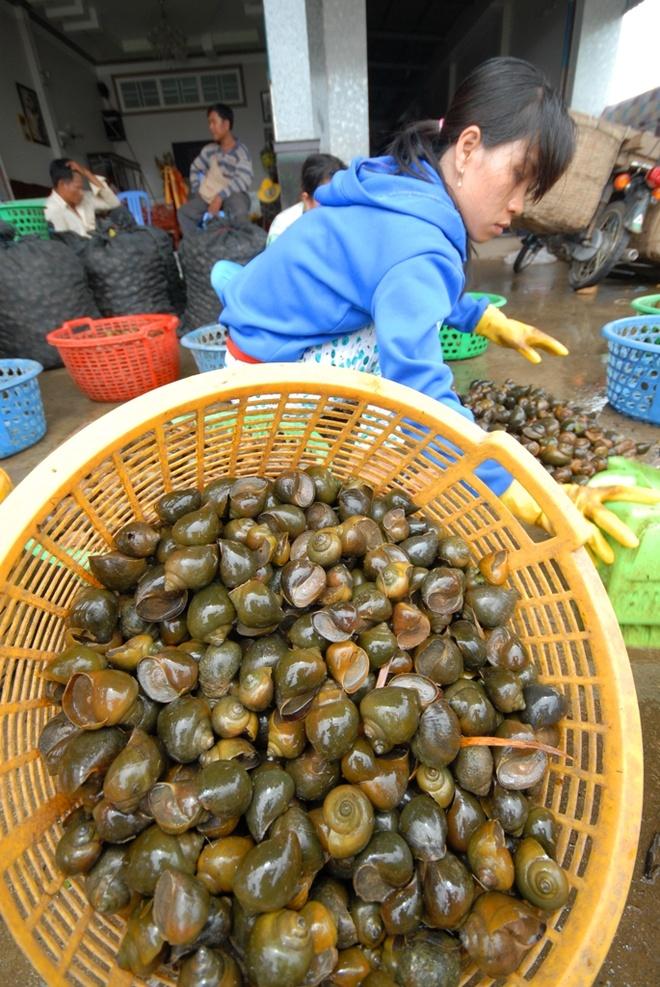 Nong dan 'nuoi' oc buou vang ban cho thuong lai Trung Quoc hinh anh 15