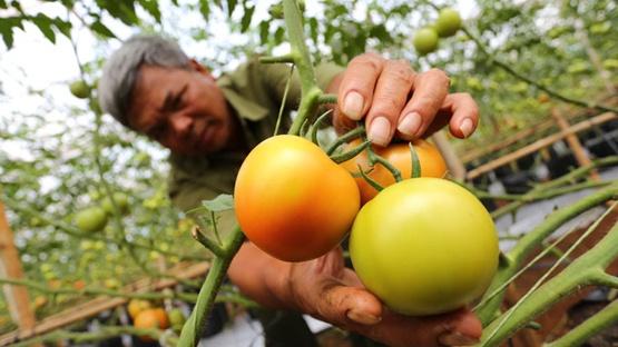 Ca chua 3 trai/kg cua Da Lat chiu noi oan hinh anh 1 Ông Lê Công Thôn (huyện Đức Trọng, tỉnh Lâm Đồng) với vườn cà chua Beef, trái chưa đến thời điểm thu hoạch nhưng đạt trọng lượng 3 trái/kg