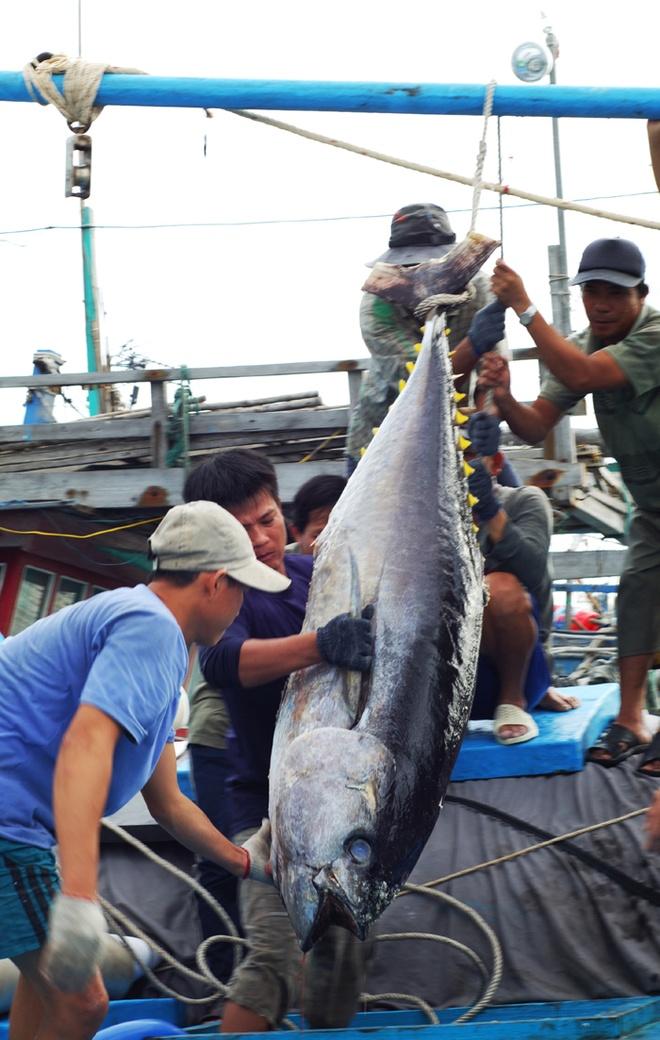 Nhung con ca ngu dai duong nua ta tren bien Phu Yen hinh anh 3 Mỗi con cá ngừ bình quân khoảng 40 kg, cá biệt có khi lên đến một tạ, nặng gấp đôi một người lớn.