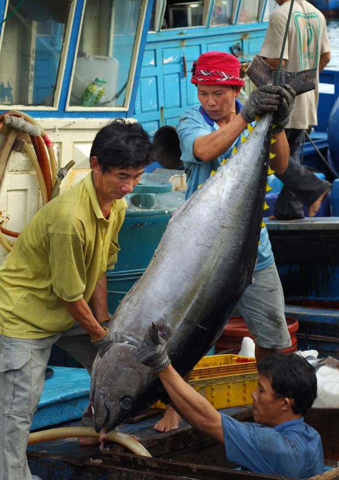 Nhung con ca ngu dai duong nua ta tren bien Phu Yen hinh anh 5 Đưa cá ngừ từ hầm tàu lên.