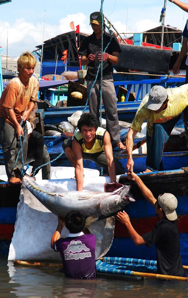 Nhung con ca ngu dai duong nua ta tren bien Phu Yen hinh anh 6 Chuyển cá lên bờ.
