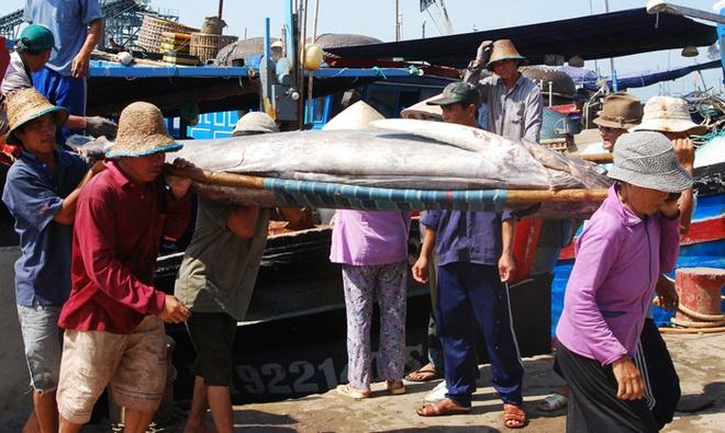 Nhung con ca ngu dai duong nua ta tren bien Phu Yen hinh anh 8 Có những con cá nặng phải đến năm người khiêng.