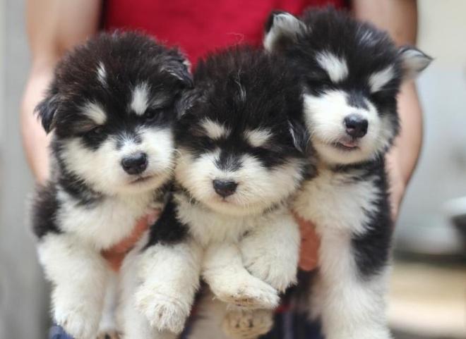 Ro mot nuoi nhung con vat bac trieu hinh anh 1 Ba chú chó Alaskan đen trắng này mới hai tháng tuổi và được bán với giá 8,5 triệu đồng/con.