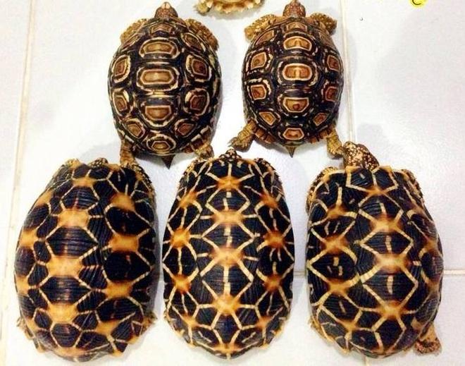 Ro mot nuoi nhung con vat bac trieu hinh anh 12   Những con rùa này được quảng cáo là có màu sắc đẹp, ăn rau và dễ nuôi. Giá bán là 2 triệu đồng/con.