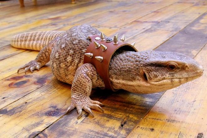 Một chú rồng Nam Phi có tên Savannah Monitor được chủ nhân đeo vòng cổ nhìnkhá ngầu. Có giá từ 3 – 10 triệu đồng / con.