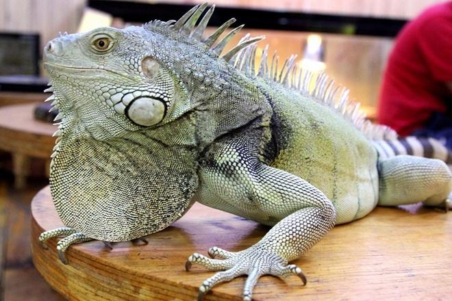 Quan ca phe rang xay voi bo sat doc dao nhat Sai Gon hinh anh 9 Green Iguana - Kỳ nhông xanh có nguồn gốc từ Nam Mỹ và thức ăn chủ yếu củachúng là rau củ, trái cây, là loài vật được chọn làm thú cưng của rất nhiều gia đìnhnước ngoài, họ coi nó là 1 loài khủng long mini nuôi trong nhà.