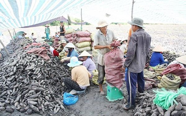 Nhiều người trồng khoai khốn khổ vì quá lệ thuộc vào cánh thương lái Trung Quốc (thu hoạch khoai lang xuất khẩu ở Bình Tân, Vĩnh Long).