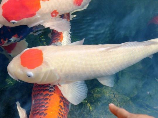 Ty phu ca koi hinh anh 1  Cá Koi trên đầu có biểu tượng lá cờ Nhật Bản, kích thước dài khoảng 80 cm có giá trên 200 triệu đồng. Cá Koi trên đầu có biểu tượng lá cờ Nhật Bản, kích thước dài khoảng 80 cm có giá trên 200 triệu đồng.