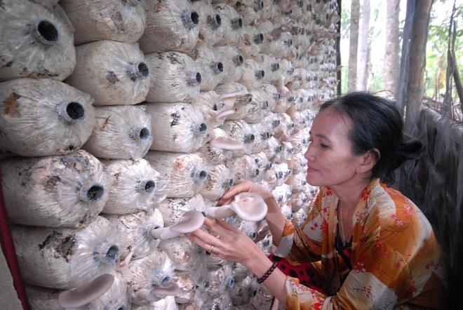 Trong nam bao ngu o mien Tay, thu gan nua ty moi nam hinh anh 1 Gia đình ông Lê Văn Út đang thu hoạch nấm bào ngư bán mỗi ngày.