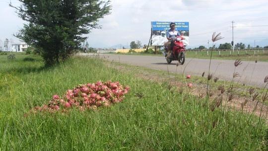 Thanh long do day duong hinh anh 2 Thanh long rớt giá, người dân đổ bỏ trên quốc lộ ở Bình Thuận