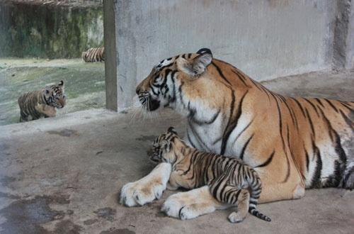 Vuon thu quy hiem cua dai gia Le Thanh Than hinh anh 1 Hổ vàng được nhập về từ Cộng hòa Séc đã sinh sản lần thứ 2 ở Trại Bò.
