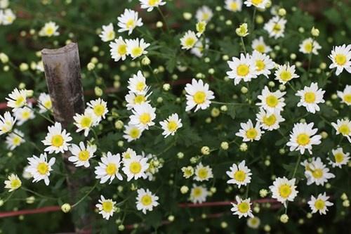 Nhung loai cay co tac dung thanh loc khong khi hinh anh 3 Cây hoa cúc có thể lọc được những chất độc thải ra từ sơn gỗ, vecni, thuốc nhuộm... Hình minh họa.