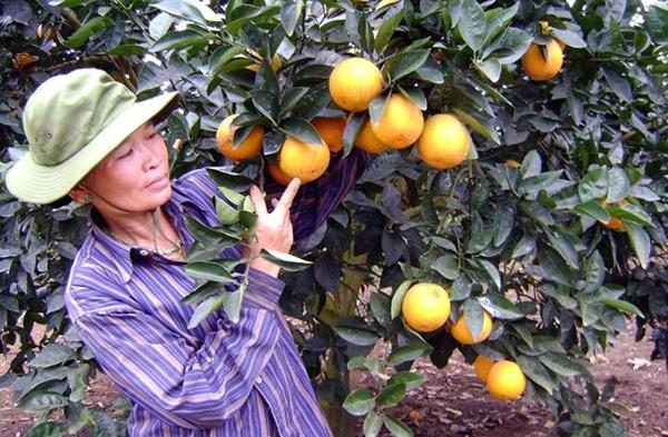 Cam Vinh: Chua chinh vu, Ha Noi da loan hang gia hinh anh 1 Với các ưu điểm màu vàng đẹp, mùi thơm, vị ngọt, tươi lâu, không hạt... nên cam Vinh rất đắt khách.