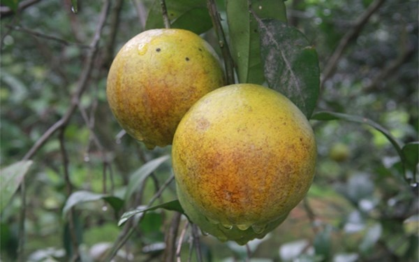 """Cach phan biet cam vang Cao Phong voi cam Trung Quoc hinh anh 2 Quả xanh có màu xanh nhạt, cam Cao Phong quả tròn đều, vỏ không nhẵn, chứ không có """"vòi"""", vỏ vàng nhẵn như cam Trung Quốc."""