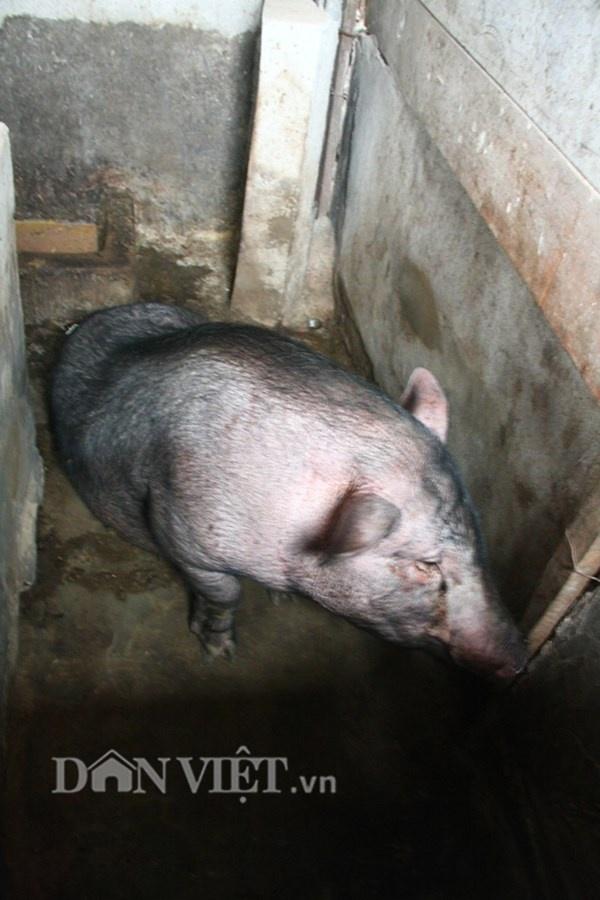 Nha ong 7 tang giua Ha Noi 'ngap' trong rau, ca, ga, lon,... hinh anh 10 Một chú lợn chuẩn bị đến ngày thịt được đưa lên cao trên tầng 7. Ông Tiến cho biết, phân của gia súc, gia cầm còn quý hơn thịt. Bởi nhờ phân lợn, phân gà ông đem ủ một thời gian nhất định rồi mới mang ra bón cho rau.