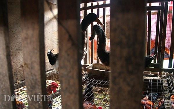 Nha ong 7 tang giua Ha Noi 'ngap' trong rau, ca, ga, lon,... hinh anh 12 Với ba chuồng gà, mỗi chuồng với diện tích khiêm tốn khoảng 2m2 mỗi năm đem lại nguồn cung cấp thực phẩm thịt gà, ngan sạch cho không chỉ gia đình ông mà còn nhiều anh em hàng xóm xung quanh.