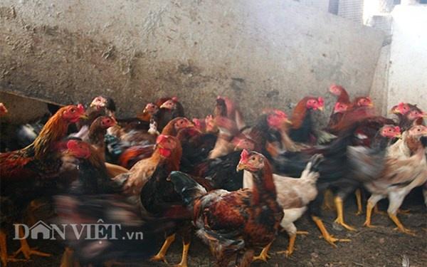Nha ong 7 tang giua Ha Noi 'ngap' trong rau, ca, ga, lon,... hinh anh 13 Trung bình mỗi năm, gia đình ông Tiến nuôi khoảng 150 con gà theo tính toán cứ 2-3 ngày lại thịt một con.
