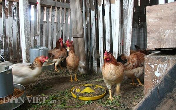 Nha ong 7 tang giua Ha Noi 'ngap' trong rau, ca, ga, lon,... hinh anh 14 Không chỉ nuôi gà thịt mà ông còn nuôi gà đẻ trứng.