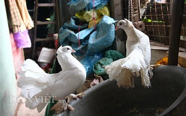 Nha ong 7 tang giua Ha Noi 'ngap' trong rau, ca, ga, lon,... hinh anh 15 Với tình yêu động vật, ông còn nuôi thêm 3 chú chim bồ câu Pháp và một đàn mèo.