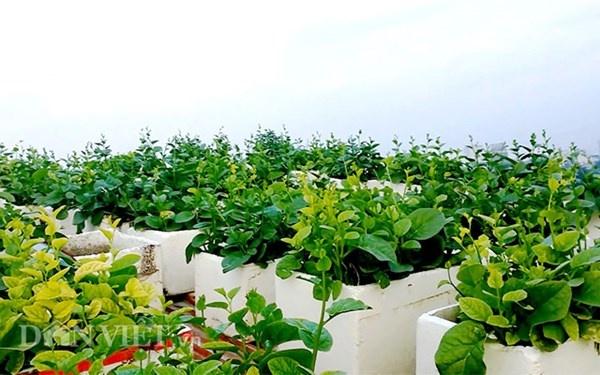 Nha ong 7 tang giua Ha Noi 'ngap' trong rau, ca, ga, lon,... hinh anh 1 Ngự trên tầng cao, vườn rau của gia đình ông Tiến luôn xanh tốt nhờ hấp thụ đầy đủ ánh sáng.