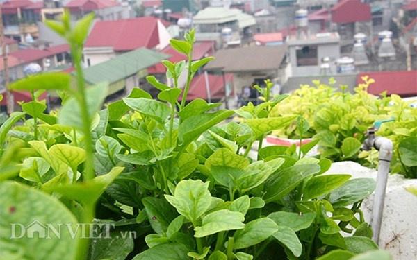 Nha ong 7 tang giua Ha Noi 'ngap' trong rau, ca, ga, lon,... hinh anh 3 Những luống mùng tơi tốt um trong khu vườn trên cao chính là thành quả của đôi bàn tay miệt mài chăm sóc hàng ngày nhờ ông Tiến và gia đình.