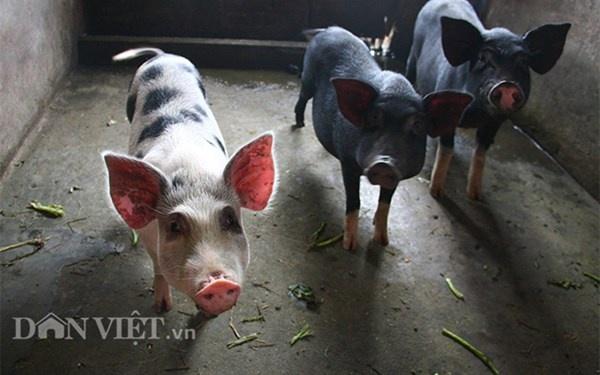 Nha ong 7 tang giua Ha Noi 'ngap' trong rau, ca, ga, lon,... hinh anh 9 Giống lợn Lửng được gia đình ông nhiều năm nay tin tưởng chăn nuôi bởi nó hạn chế gây ô nhiễm tiếng ồn ảnh hướng tới hàng xóm xung quanh.
