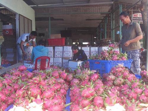 Thanh long Viet Nam gay sot o An Do, nhap khau tang 20 lan hinh anh 1 Một vựa thanh long ở Bình Thuận.