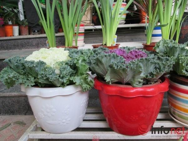 Cai bap, cai cu 'len doi' cay canh choi Tet hinh anh 9 Với kích thước nhỏ, chiều cao thấp nên cây bắp cải thường được đặt trong phòng khách.