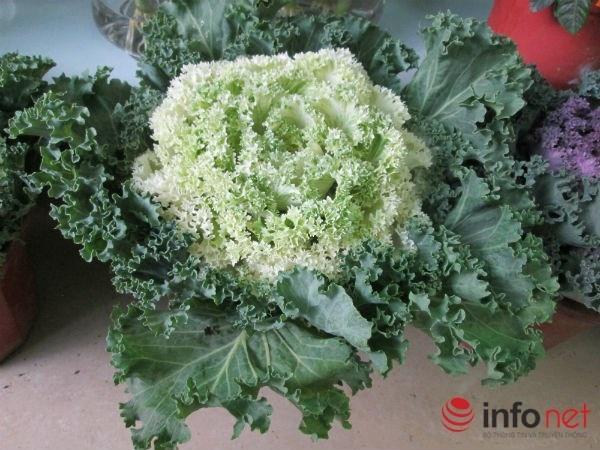 Cai bap, cai cu 'len doi' cay canh choi Tet hinh anh 10 Mỗi cây bắp cải như một bông hoa cỡ lớn được bao bọc bởi những lớp lá xanh bên ngoài.