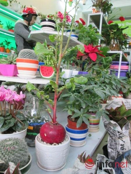 Cai bap, cai cu 'len doi' cay canh choi Tet hinh anh 4 Việc chăm sóc cây này khá đơn giản, khoảng 4 ngày lại tưới nước cho cây một lần. Sau một thời gian nuôi trồng, củ cải sẽ già và ra hoa.