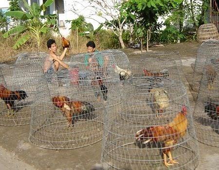 Nuoi ga noi hot bac mua Tet hinh anh 1 Nhiều người nuôi gà nòi để bán trong dịp tết.