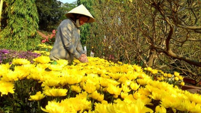 """Bà Tuyết (Đồng Tháp) chăm sóc vựa hoa cúc cho biết sáng sớm đã có người """"mở hàng"""" mua 4 cặp hoa cúc và hoa cát tường."""